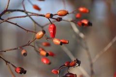 Dogrose bär efter en vinter under filialerna utan sidor användbart medicinalväxter röda bär som hänger på en Bush på a royaltyfri foto