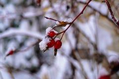 Dogrose bär täckt snö Royaltyfri Fotografi