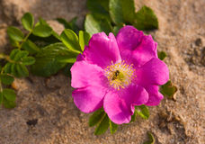 Dogrose on beach sand Royalty Free Stock Images