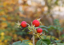 Dogrose berries Royalty Free Stock Images