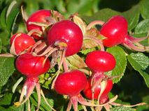 Dogrose berries. Cluster of berries of a wild dogrose in the autumn royalty free stock image