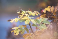 Dogrose berries close up, autumn natural background royalty free stock image