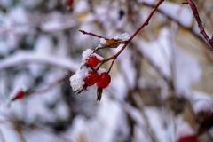 Dogrose berries covered  snow. Dogrose berries covered with snow Royalty Free Stock Photography