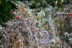 Dogrose berries. Morning frost. Autumn hoarfrost on the grass. F Stock Photo