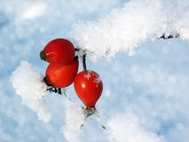 Dogrose berries in the snow Stock Images