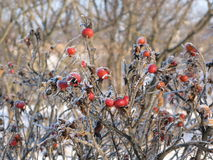 Dogrose berries in winter Royalty Free Stock Photography