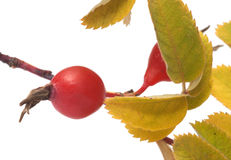 Dogrose berry. Royalty Free Stock Image