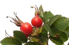 Dogrose berry. Royalty Free Stock Photography