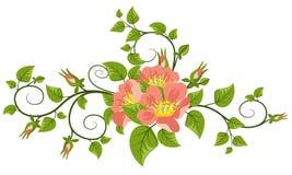 Dogrose-Blumen mit Blättern Stockbild