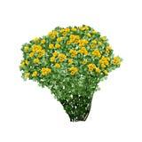 Dogrose Busch mit gelben Terry-Blumen Lizenzfreie Stockfotos