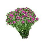 Dogrose Busch mit roten Terry-Blumen Stockfoto