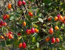 Dogrose bush Stock Photography