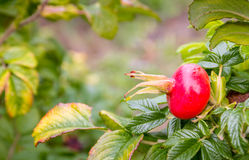 Dogrose bush with red fruits Royalty Free Stock Image