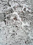Dogrose buske med bär på filialer som täckas med snö fotografering för bildbyråer