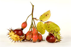 Dogrose and chestnuts. Two chestnuts and chestnuts on a light background Royalty Free Stock Images