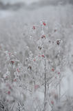 Dogrose covered by hoarfrost Royalty Free Stock Photos