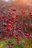 Dogrose dans le jardin Image stock