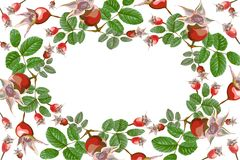 Dogrose ellipse frame wild rose hips. Frame ellipse, wreath composition of fruits and leaves of wild rose hips, naturalistic painted for decoration, isolated Royalty Free Stock Image