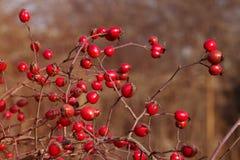 Dogrose en el jardín Imagen de archivo libre de regalías