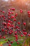 Dogrose en el jardín Imagen de archivo