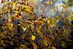 Dogrose filialfragment med frukter, bladguld, nedgång Royaltyfria Bilder