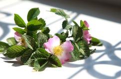Dogrose floreciente de las flores rosadas en un alféizar con sha hermoso Foto de archivo libre de regalías