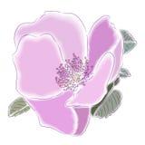 Dogrose flower Stock Photos