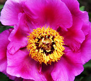 Dogrose flower Royalty Free Stock Image