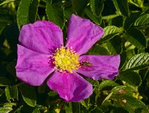 Dogrose flower Stock Images