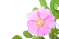 Dogrose flower Stock Photography