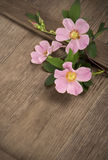 Dogrose flowers Royalty Free Stock Photo