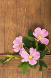 Dogrose flowers Royalty Free Stock Image