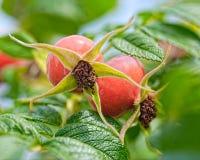 Dogrose fruits Royalty Free Stock Photos