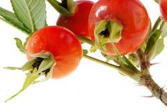 Dogrose fruits Stock Photos
