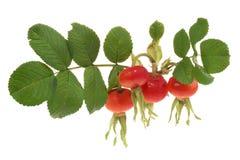 Dogrose fruits Royalty Free Stock Photography