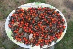 Dogrose frukt på en platta Arkivfoto