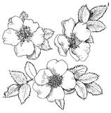 Dogrose hand drawn flowers Stock Photo