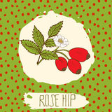 Dogrose hand drawn sketched fruit with leaf on background with dots pattern. Doodle vector rose hip for logo, label, brand identit Royalty Free Stock Photography