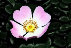 Dogrose with heart. Blooming wild dogrose on a dark green leaves background Royalty Free Stock Image