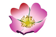 Dogrose with heart. Blooming wild dogrose with heart on a white background Stock Photography