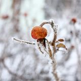 Dogrose in hoarfrost Royalty Free Stock Photography