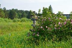 Dogrose kwiatu zakończenie up, natura Fotografia Royalty Free