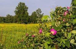 Dogrose kwiatu zakończenie up, natura Zdjęcia Royalty Free