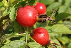Dogrose rojo Fotografía de archivo
