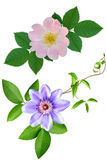 Dogrose of a rose of clematis flowers. It is isolated a holiday stock photos