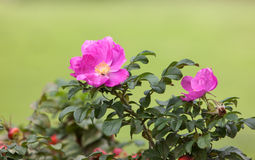 Dogrose in the summer Stock Images