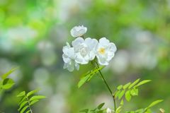 Dogrose white flowers on green bokeh backdrop. Royalty Free Stock Photos