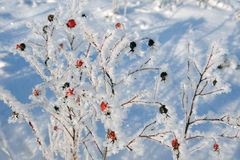Dogrose in winter Royalty Free Stock Photo