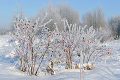 Dogrose in winter Royalty Free Stock Photography
