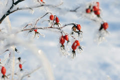 Dogrose in winter Stock Images